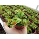 Дионея - Венерина мухоловка - голямо растение - XL