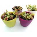 Дионея - Венерина мухоловка - голямо растение - XL - цветна саксия