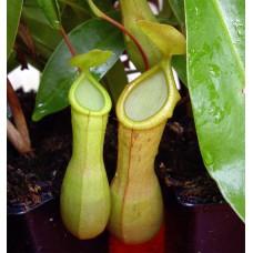 Nepenthes Alata x Ventrata