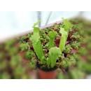 Sarracenia Velvet